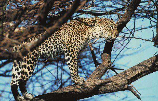 erlebnisreise-bamburi-kenia-leopard