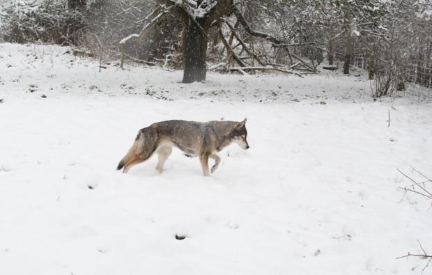 schlittenhundefahrt-neu-benthen-husky-tag