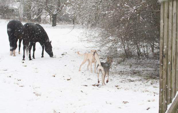 schlittenhundefahrt-neu-benthen-pferde