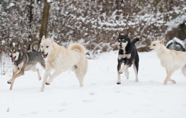 schlittenhundefahrt-neu-benthen-rudel