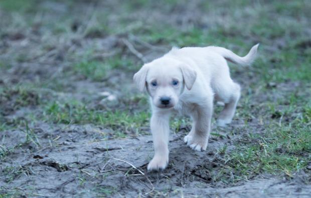schlittenhundefahrt-neu-benthen-welpe