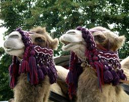 Bild Kamelreiten - Kamelreiten – das Beduinentaxi auch in Deutschland erleben
