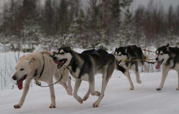schlittenhunde-workshop-markt-bibart-husky