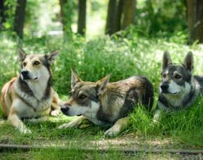 Wolfshunde-Trekking Ca. 3 Stunden