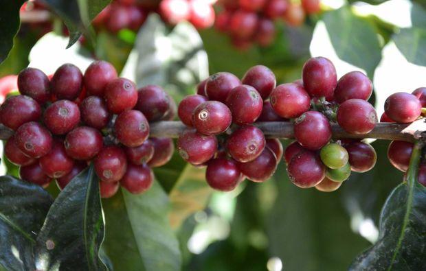 kaffeeseminar-schenefeld-hamburg-kaffee-pflanze