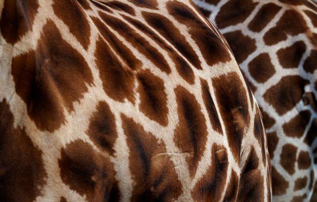 fotokurs-hannover-giraffe
