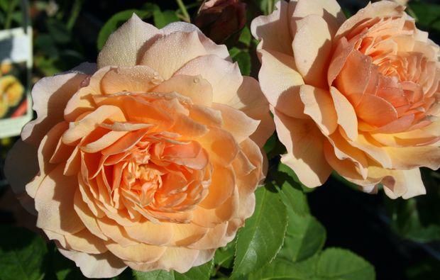 gartenseminar-leonberg-rosen