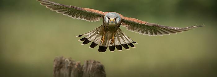 Falkner für einen Tag