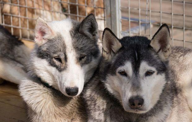 schlittenhunde-workshop-moedingen-husky
