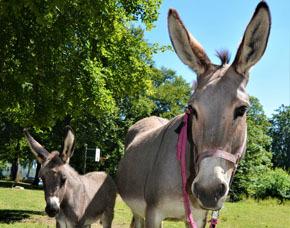 GPS Eselwanderung - 3 Stunden (2 Erw. & 2 Kinder) GPS Eselwanderung inkl. Picknick - 3 Stunden