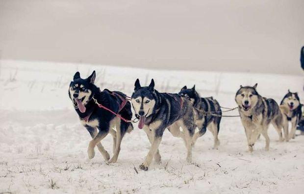 schlittenhundetour-tabarz-schlittenhundefahrt