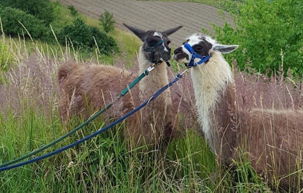 lamatrekking-stadecken-tierisches-duo