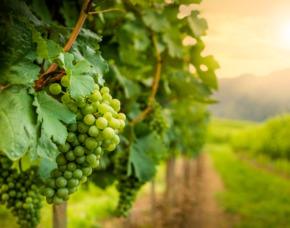Virtuelle Walking Weinprobe im Weinberg Online-Seminar Online-Seminar - Verkostung von 5 Weinen
