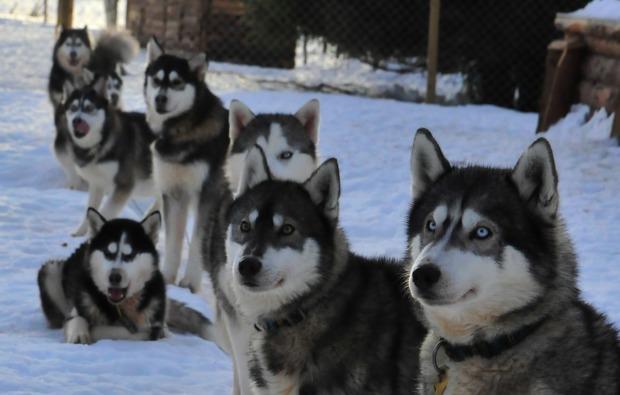 husky-abenteuer-trip-asele-huskies