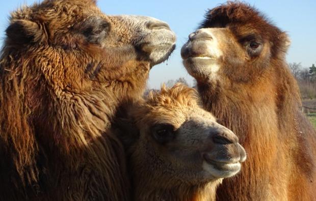 kamelreiten-issum-kamele