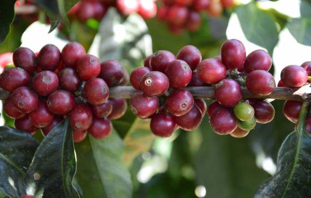 kaffeeseminar-roestung-schenefeld-hamburg-kaffee-pflanze
