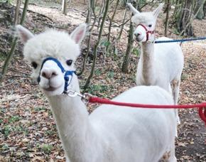 Lama- und Alpakawanderung
