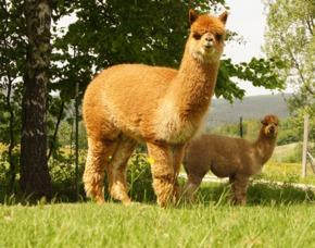 Lama- und Alpakawanderung Bockau