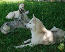 schlittenhunde-trekking-schwerin1338970793