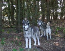 schlittenhunde-trekking-schwerin31338987783
