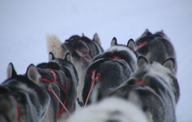 schlittenhundefahrt-twistringen-dogs