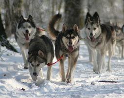 Schlittenhunde-Fahrt Großgespann-Tour - 3 Stunden