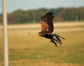 Falkner Erlebnis (Wanderung mit freifliegenden Greifvögeln) Wanderung mit freifliegenden Greifvögeln - 3-4 Stunden