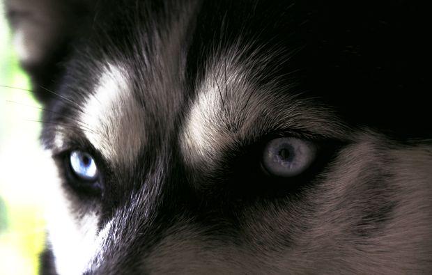 husky-trekking-nueziders-liebe