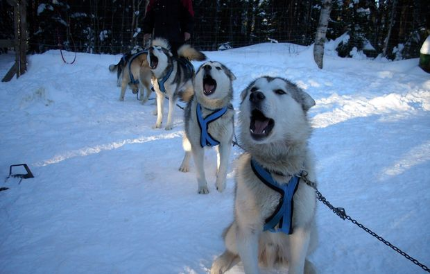 schlittenhundefahrt-saerna-husky