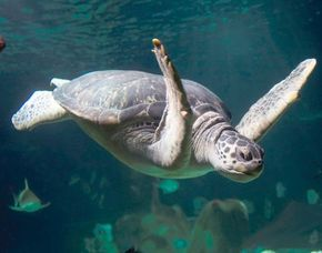 Exklusive Schildkrötenfütterung Hannover Fütterung mit Schildkröten, Seepferdchen, Oktopus - ca. 2 Stunden