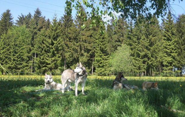 husky-trekking-moedingen-huskies