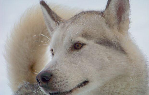 schlittenhundefahrt-schwabmuenchen-winter