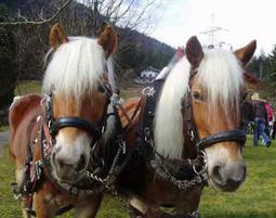 kutschfahrt-golling-an-der-salzach-pferde