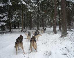 hunde-schlitten-race