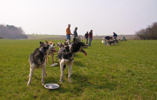 schlittenhundefahrt-markt-bibart-sommer