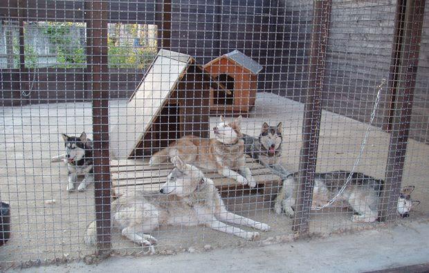 schlittenhundefahrt-markt-bibart-tiere