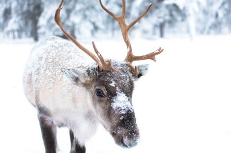 Rentier im Schnee