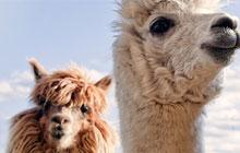Lama & Alpaka
