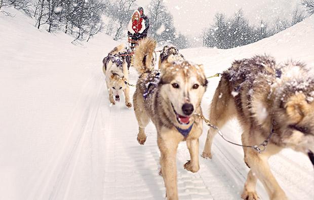 Huskies & Schlittenhunde